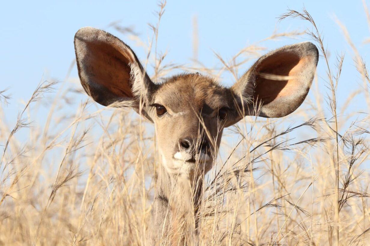 zoogdier in struikgewas grote oren luisteren naar het antwoord